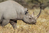 Black rhinoceros in Etosha National Park, Namibia — Foto Stock