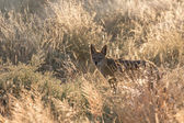 чепрачный шакал в национальном парке этоша, намибия — Стоковое фото