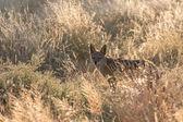 Sciacallo nero-sostenuto nel parco nazionale di etosha, namibia — Foto Stock