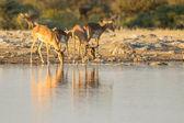 Czarny-w obliczu impala w etosha national park, namibia — Zdjęcie stockowe