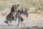 Burchell's zebra in Etosha National Park, Namibia — Stockfoto