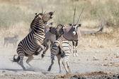 Burchell's zebra in Etosha National Park, Namibia — ストック写真
