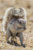 Cape ground squirrel in Etosha National Park, Namibia — Foto Stock