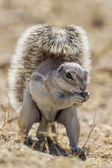 Esquilo à terra do cabo no parque nacional de etosha, namíbia — Foto Stock