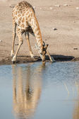 Drinking giraffe in Etosha National Park, Namibia — Stock Photo