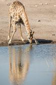 Jirafa bebiendo en el parque nacional de etosha, namibia — Foto de Stock