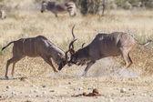 Kudus maiores no parque nacional de etosha, namíbia — Foto Stock