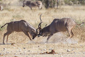Mayor kudus en parque nacional de etosha, namibia — Foto de Stock