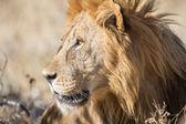 Leone maschio nel parco nazionale di etosha, namibia — Foto Stock