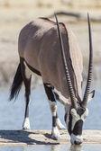 «орикс» в национальном парке этоша, намибия — Стоковое фото