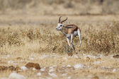 Springbuck in Etosha National Park, Namibia — Stock fotografie
