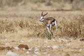 Springbuck no parque nacional de etosha, namíbia — Foto Stock