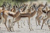 Saltante nel parco nazionale di etosha, namibia — Foto Stock