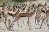 Springbuck in Etosha National Park, Namibia — Stockfoto