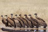 Ak sırtlı akbabası etkin ulusal park, namibya — Stok fotoğraf