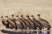 White-backed vulture in Etosha National Park, Namibia — 图库照片