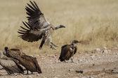 White-backed gier in etosha national park namibië — Stockfoto