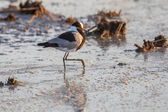 Smid plover in etosha national park namibië — Stockfoto