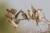 Red-billed quelea in Etosha National Park, Namibia — Foto Stock