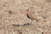 Burchell's courser in Etosha National Park, Namibia — Stock fotografie
