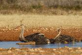 Avestruz a beber no parque nacional de etosha, namíbia — Foto Stock