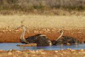 Drinking Ostrich in Etosha National Park, Namibia — Stock Photo
