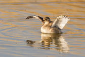 Little grebe in Etosha National Park, Namibia — Stok fotoğraf