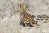 Namaqua sandgrouse in Etosha National Park, Namibia — 图库照片