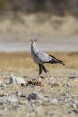 Aves de secretario en el parque nacional de etosha, namibia — Foto de Stock