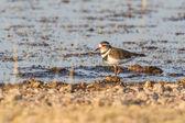 Tre-banded plover nel parco nazionale di etosha, namibia — Foto Stock