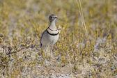 Courser duas-fitas no parque nacional de etosha, namíbia — Foto Stock