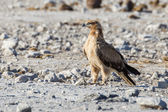 Wahlberg's eagle in Etosha National Park, Namibia — Stock fotografie