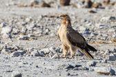 Wahlberg's eagle in Etosha National Park, Namibia — ストック写真