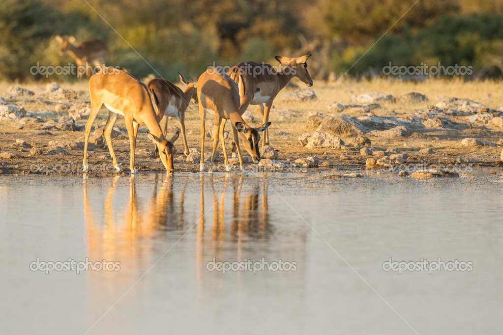 Black-faced impala in Etosha National Park, Namibia  Stock Photo #11514832