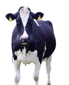 Cow,Isolated — Stock Photo