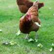 Hens in an English garden — Stock Photo
