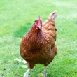 Stock Photo: Hens in English garden
