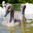 Cygnet — Stock Photo #11525290