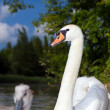 Swan with her cygnets — Stock Photo