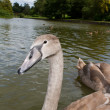 Pretty cygnet swimming on lake — Stock Photo #12384988
