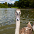 Pretty cygnet swimming on the lake — Stock Photo