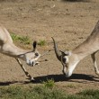 Royalty-Free Stock Photo: Two Gerenuk Gazelles Fighting