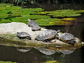 Animals - turtles on the water — Stock Photo