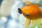 Złota rybka, jedzenie mucha — Zdjęcie stockowe