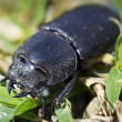 Stag beetle female — 图库照片