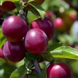 Plums on the tree — Stock Photo #11418923