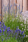 Purple and white lavender near fence — Stock Photo