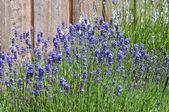 Lawenda w pobliżu ogrodzenia — Zdjęcie stockowe