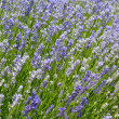 Stock Photo: Light purple lavender