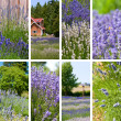 Lavender collage - Stock Photo